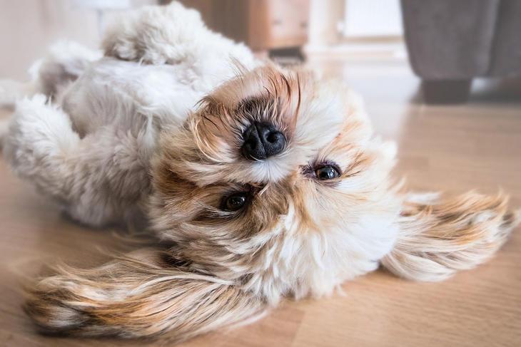 Hund som ligger på ryggen, foto: Fran__ from Pixabay