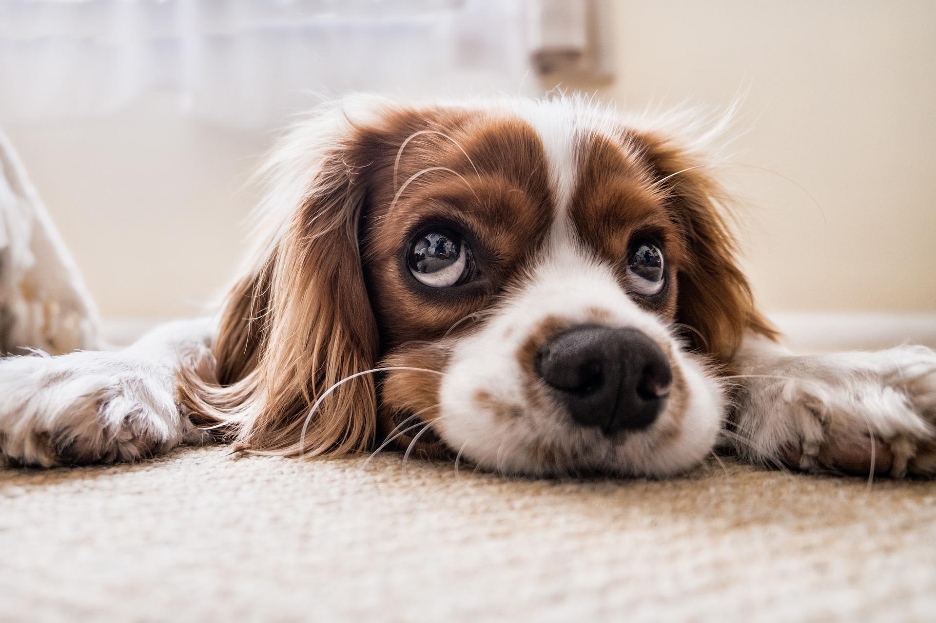 Hund som ligger og ser opp