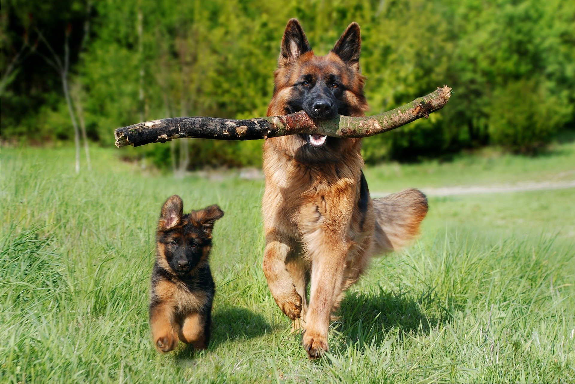 stor og liten schafer hund løper - foto: AnjaGh fra Pixabay