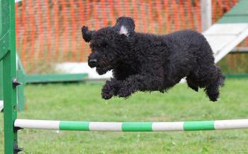Hund som hopper over hinder, foto: woodsilver fra Pixabay