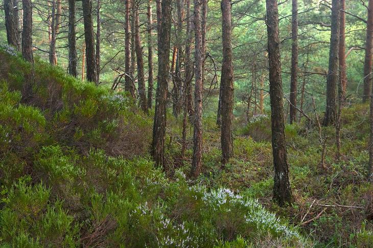 Furuskog i Hordaland, foto: Aqwis (Wikimedia Commons)