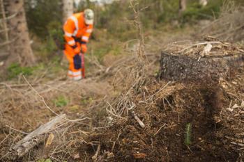 Stubbe med nyvekst og person som planter, foto: Ragnhild Kjeldsen (NDLA)