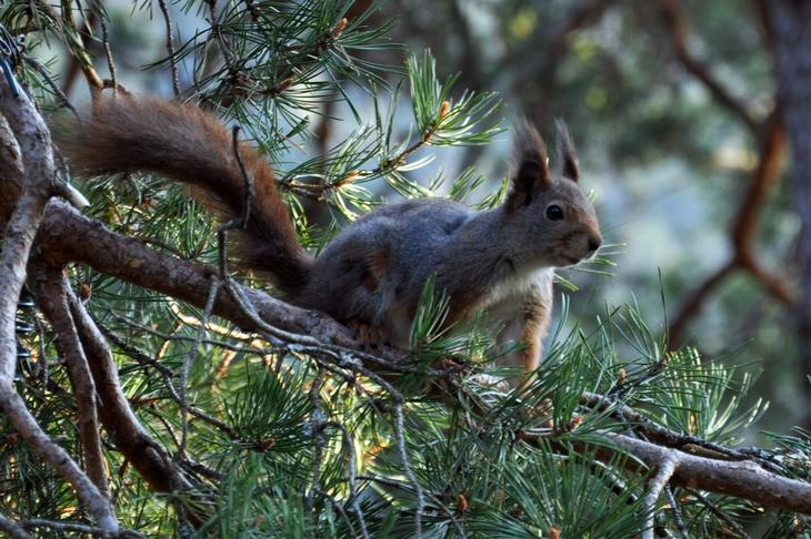 Ekorn i skogen, foto: Atheimann (Wikimedia Commons)