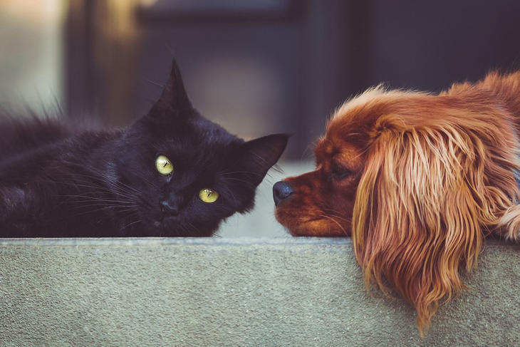 Katt og hund som ligger på en sofa, foto: StockSnap fra Pixabay
